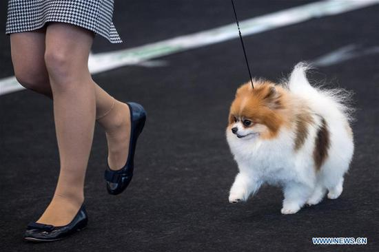 A Spitz is seen at an international dog show in Vilnius, Lithuania, on March 4, 2018. Around 2,000 dogs from Lithuania, Latvia, Estonia, Sweden and other countries were presented in the event lasting from March 2 to March 4. (Xinhua/Alfredas Pliadis)