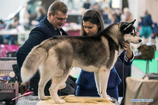 A Husky is seen at an international dog show in Vilnius, Lithuania, on March 4, 2018. Around 2,000 dogs from Lithuania, Latvia, Estonia, Sweden and other countries were presented in the event lasting from March 2 to March 4. (Xinhua/Alfredas Pliadis)