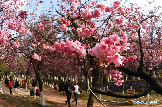 This photo taken on March 6, 2018 shows cherry blossoms at Yuantongshan Park in Kunming, capital of southwest China's Yunnan Province. The cultivation of cherry blossoms in Kunming can be traced back to as early as the 13th century. Nowadays, the cherry blossoms at Kunming's Yuantongshan Park are a popular spring attraction for locals and tourists alike. (Xinhua/Lin Yiguang)
