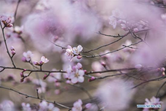 Photo taken on March 8, 2018 shows the peach blossoms in Pinglu County, north China's Shanxi Province. (Xinhua/Liu Wenli)