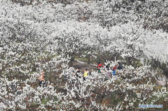 Tourists view plum blossoms at Shangmatai Village of Chengjiang Township, southwest China's Chongqing Municipality, March 11, 2018. (Xinhua/Wang Quanchao)