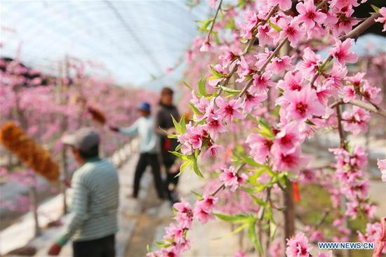 Villagers pollinate peach flowers at a greenhouse in Shuangdun Village of Shizong Township in the Tongzhou District of Nantong, east China's Jiangsu Province, March 13, 2018. (Xinhua/Xu Congjun)