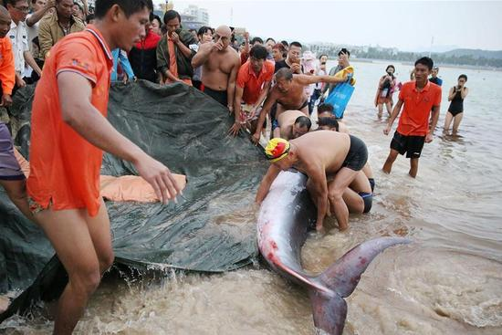 People rescue stranded whale calf in Sanya, south China