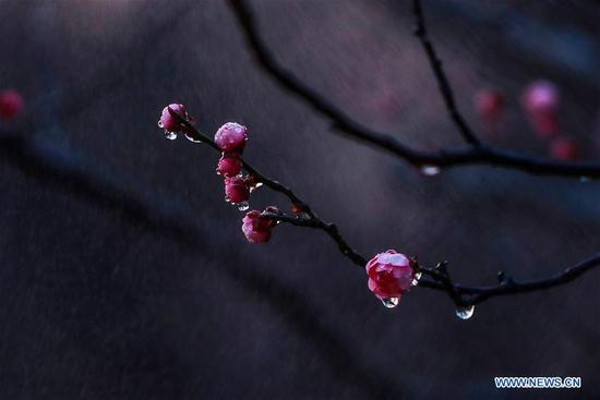 Photo taken on March 13, 2018 shows plum blossoms at a park in Qingkou Township of Ganyu County in Lianyungang City, east China's Jiangsu Province. (Xinhua/Si Wei)