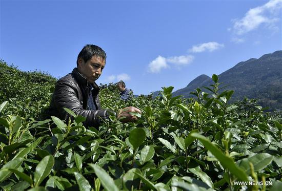 A man picks spring tea at Wanzhai Township in Xuan'en County, central China's Hubei Province, March 8, 2018. (Xinhua/Song Wen)