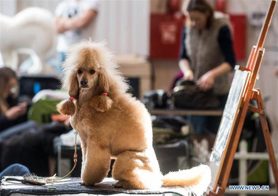 A Poodle is seen at an international dog show in Vilnius, Lithuania, on March 4, 2018. Around 2,000 dogs from Lithuania, Latvia, Estonia, Sweden and other countries were presented in the event lasting from March 2 to March 4. (Xinhua/Alfredas Pliadis)