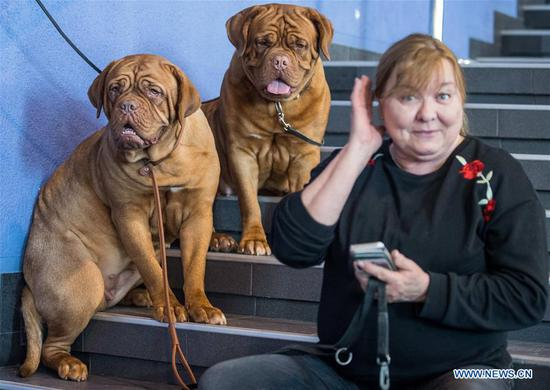 Bordeaux Mastiff dogs are seen at an international dog show in Vilnius, Lithuania, on March 4, 2018. Around 2,000 dogs from Lithuania, Latvia, Estonia, Sweden and other countries were presented in the event lasting from March 2 to March 4. (Xinhua/Alfredas Pliadis)