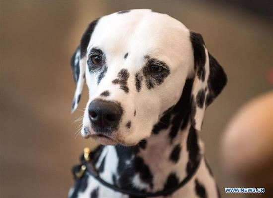 A Dalmatian is seen at an international dog show in Vilnius, Lithuania, on March 4, 2018. Around 2,000 dogs from Lithuania, Latvia, Estonia, Sweden and other countries were presented in the event lasting from March 2 to March 4. (Xinhua/Alfredas Pliadis)