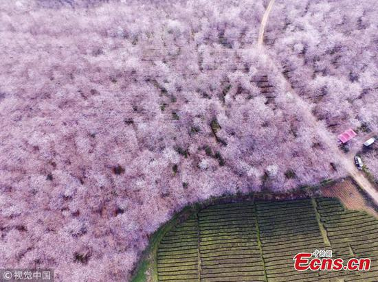 Cherry trees are in bloom at Pingba Farm in southwest China's Guizhou Province, March 10, 2018. (Photo/IC)