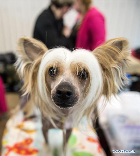 A Chinese Crested is seen at an international dog show in Vilnius, Lithuania, on March 4, 2018. Around 2,000 dogs from Lithuania, Latvia, Estonia, Sweden and other countries were presented in the event lasting from March 2 to March 4. (Xinhua/Alfredas Pliadis)
