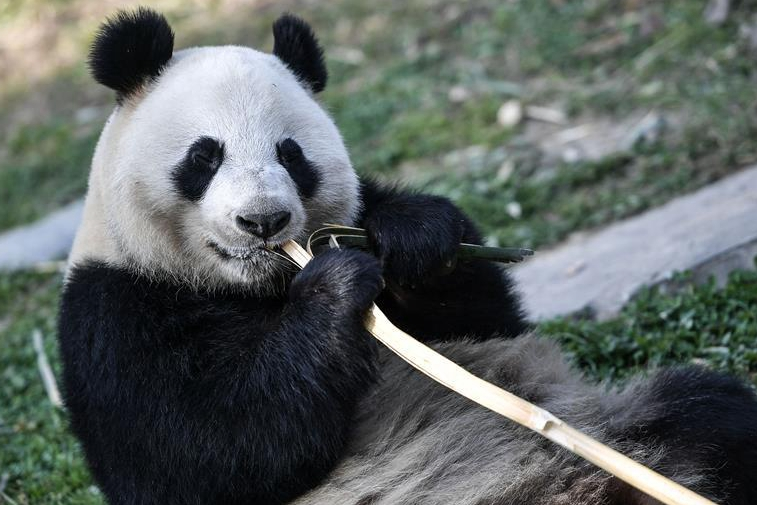 China's giant pandas leave for Finland