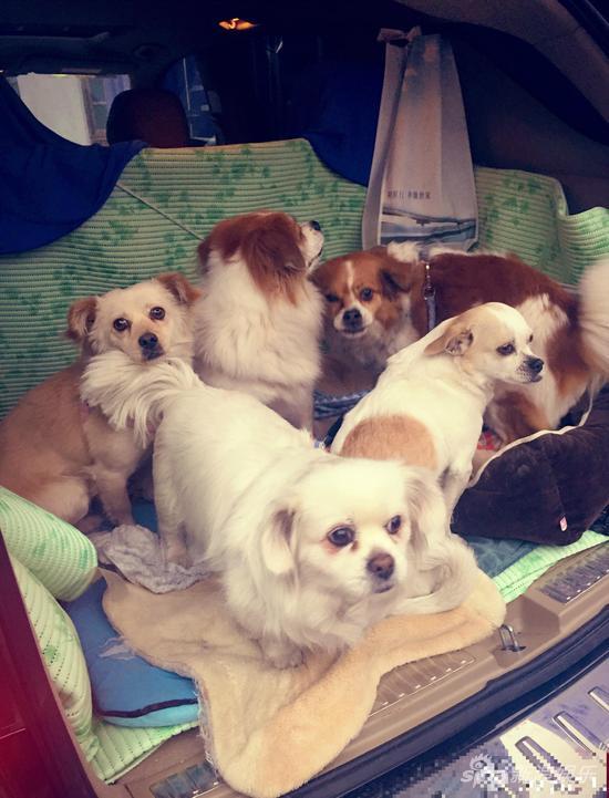 """一向体贴疼老婆的蔡远航,带着家里的5只宠物狗和手术康复的流浪狗""""小图片"""