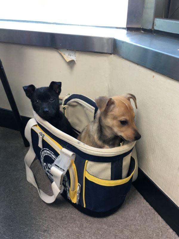 江宏恩新收养的两只幼犬