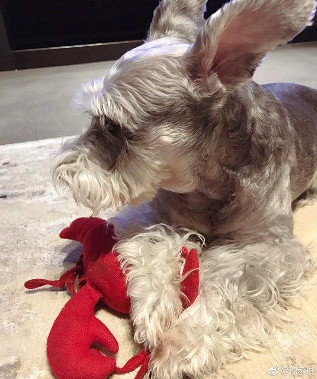 杨丞琳爱犬