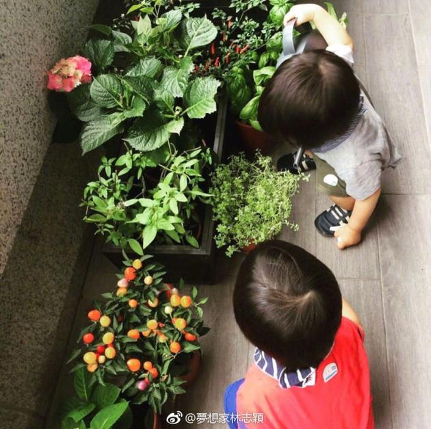 林志颖双胞胎儿子帮妈妈浇花
