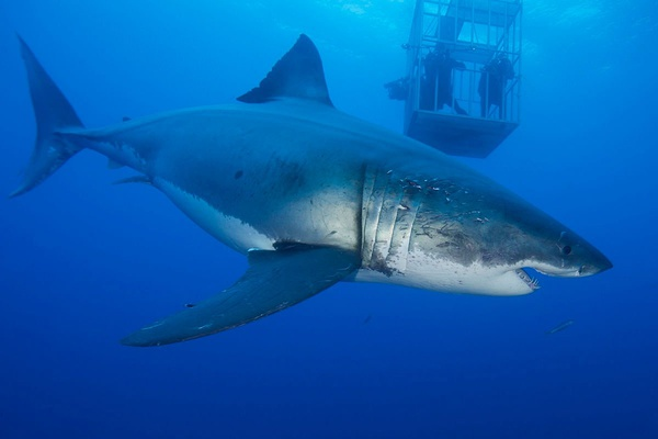 永远的大白鲨