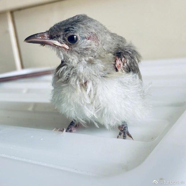 孙俪更新救助小鸟近况 悉心喂食建鸟巢快成家养鸟