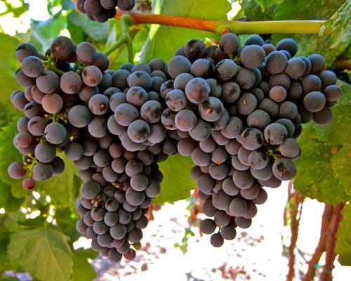 这5类小众品种葡萄酒 绝对值得一试