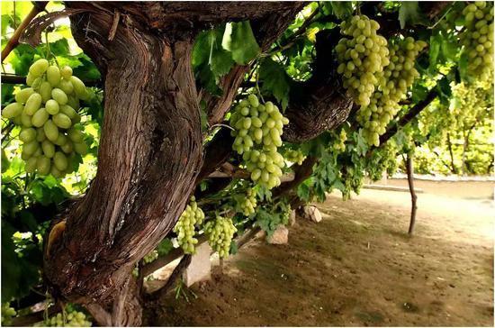 老藤葡萄的精致集中,不用多说了吧