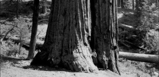 北加利福尼亚,一棵古老的红杉树内部藏着酿烈酒的蒸馏器
