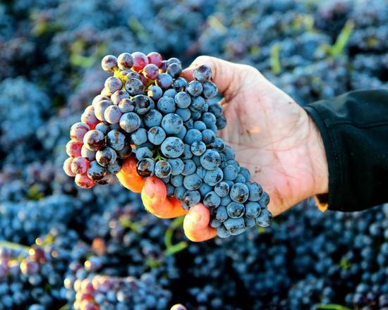酒迷必知 全球酿酒葡萄品种Top10