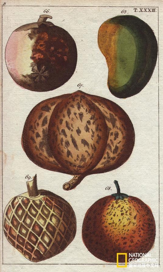 在这本19世纪的百科全书中,山竹是插图中的66号,与右侧的芒果全然不同。这种紫色水果的特性使其几乎无法运输到西方市场上销售。摄影:Florilegius,SSPL、Getty Images