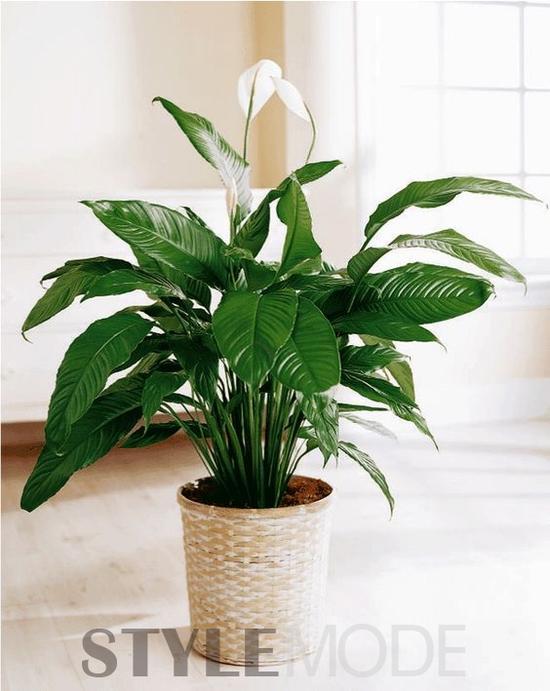 拒绝雾霾侵袭!这8种植物放在家里有效杀菌
