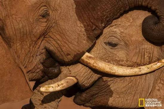 在桑布鲁国家保护区,两只小公象正在进行友好的扭打比赛。