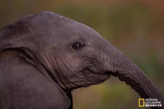 8个月大的幼象。