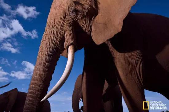 肯尼亚桑布鲁国家保护区的一群大象。大象有着复杂的家庭关系,这种关系非常有意思。