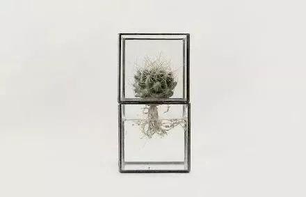 超美的水培仙人掌