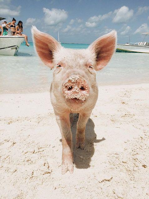 巴哈马猪岛 图片来源自Pinterest@Chloe Cockshott