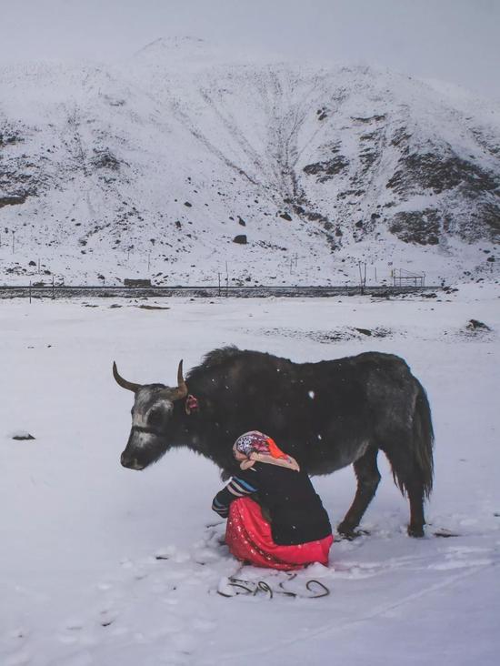 ▲玛玛依还要照顾家养的牦牛安然过冬