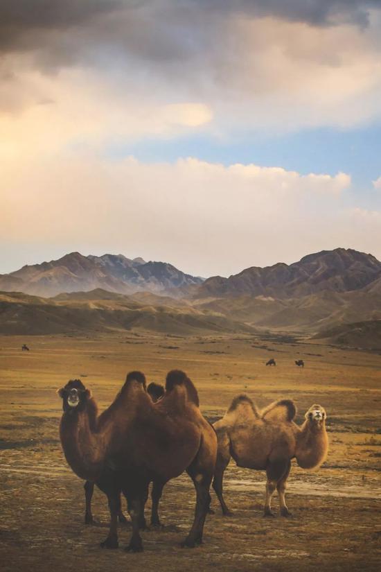 ▲天山下的骆驼,在这个季节吃得好胖