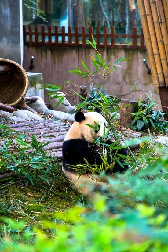 为了实现你的熊猫自由 中国有多拼?