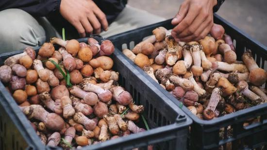 香格里拉菜市場裏的野生菌子/ ©大靜