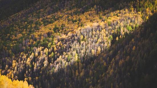 ▲被白桦与落叶松的彩林环绕