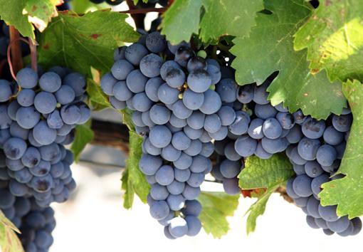 葡萄酒里的单宁来自哪里?