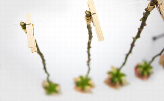 倒挂风干 图片源自www.flyingflowers.co