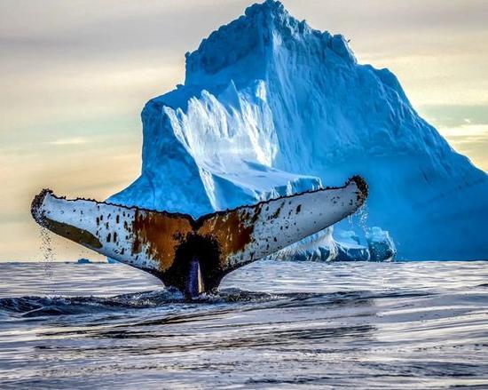 格陵兰观鲸鱼 图片来源自Google