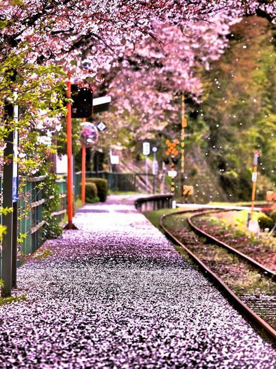 樱花季,图片来源于sunday chapter。