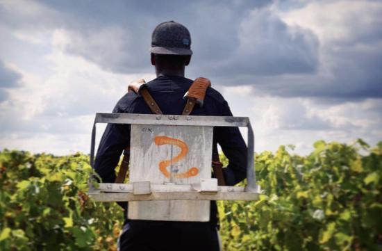 酒庄总经理 Nicolas Audebert 在田间监管采收