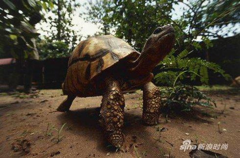 阿加诺卡龟
