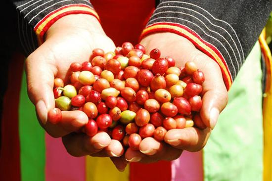 刚摘下的咖啡果实,其实颜色鲜艳似樱桃
