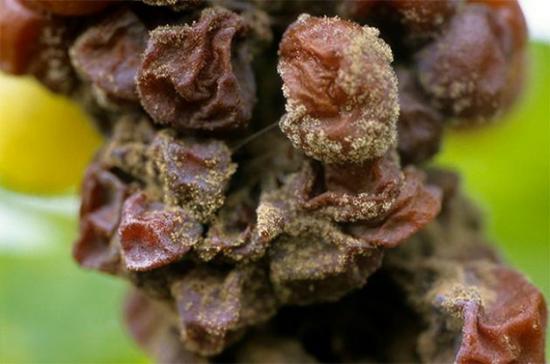 波尔多地区感染贵腐的葡萄 ? Vincent Bengold|
