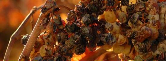 感染贵腐菌的葡萄,可以酿成世界上最顶级的甜酒 ?Wikipedia