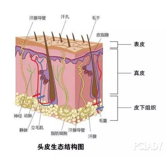 头皮生态结构图