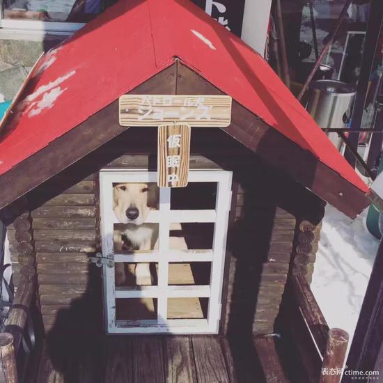 雪场里还有一条网红搜山犬,经常上电视,特别乖