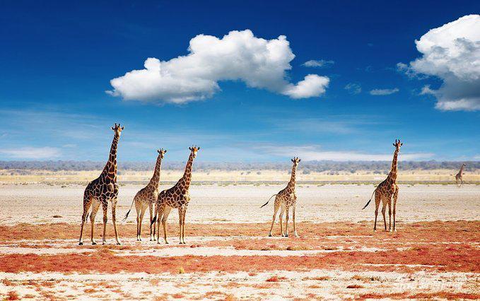 回眸的长颈鹿群