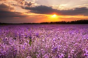 伊犁60000亩薰衣草 花开成海美哭全世界